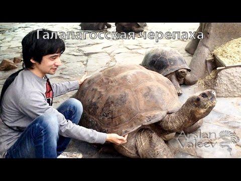 Галапагосская черепаха зоопарка Праги