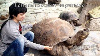 видео Живы ли слоновые черепахи с Галапагосских островов?