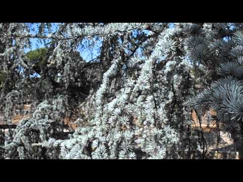 CEDRO BLANCO: Cedrus atlantica var. pendula blanca (www.riomoros.com)