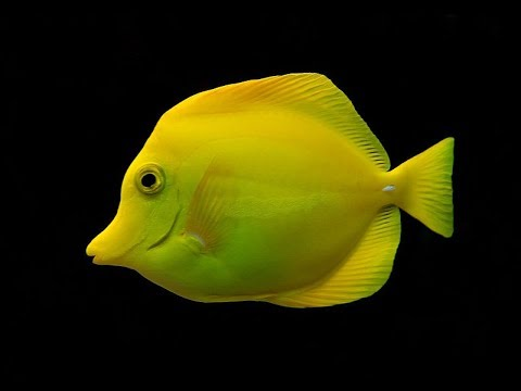 Facts: The Yellow Tang
