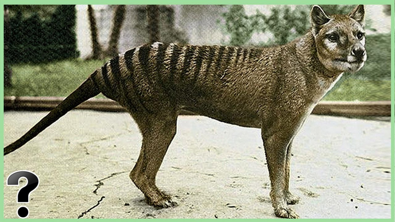 What If The Tasmanian Tiger Didn T Go Extinct Youtube