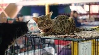 Ю.Ясько(videoYasko):Кошачий блюз на выставке 22.10.16 в Бийске