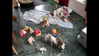 Shetan Bulls puppys born december 2013 - 06.02.2014 - deel 1
