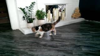 Кошка хромает