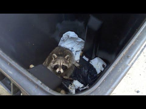 Cute baby raccoon trapped in garbage bin
