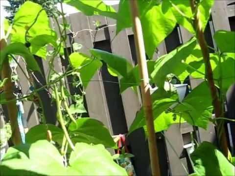 Square foot garden: Bush Beans and Pole Beans (Ottawa City, Ontario, Canada)