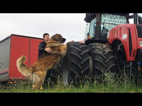 Леонбергер Михей 2,5 года 84кг. Leonberger Micah 2,5 years 84kg