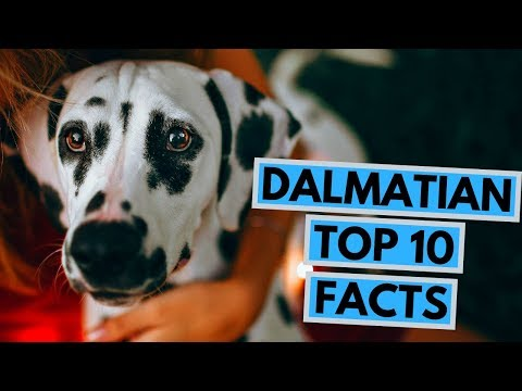 Dalmatian - TOP 10 Interesting Facts