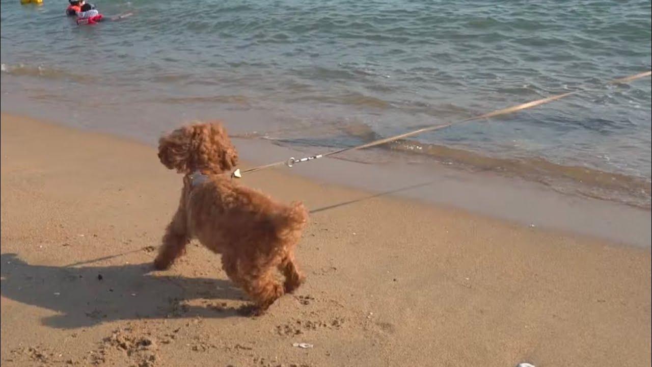 전국강아지수영대회 2위한 쫄보 강아지가 바다에 빠진 아빠를 보고 한 반응ㅋㅋㅋ