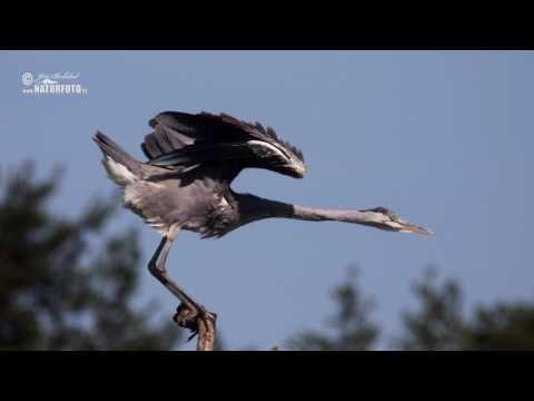 Volavka popelavá (Ardea cinerea)