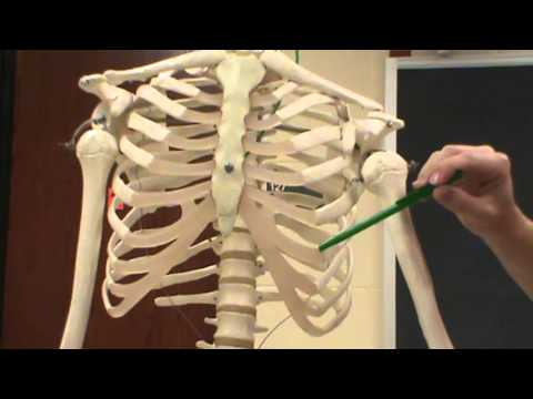 Ribs Sternum Bones Structures Youtube