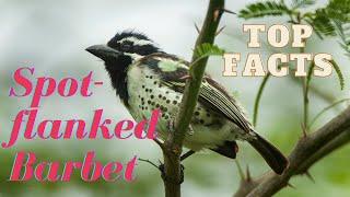 Spotflanked Barbet  found in