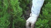 На сегодняшний день по параметрам цена/качество пихта нордмана срезка лучшая новогодняя елка.
