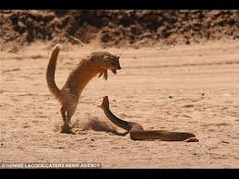 King Cobra Vs Mongoose Fight To Death Youtube