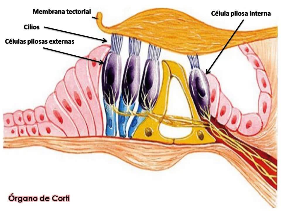 Asombroso Anatomía Y Fisiología De Audio Bosquejo - Anatomía de Las ...