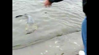 Huge Catfish on Mississippi river