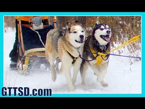 Sled Dog Races Siberian Husky Mush M.U.S.H. Dog Sledding 2014 Thunder Bay Classic