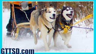 Sled Dog Races Siberian Husky Mush M.u.s.h. Dog Sledding 2014 Thunder Bay Classic