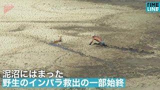 [NEWS] 泥沼にはまった野生のインパラ救出の一部始終