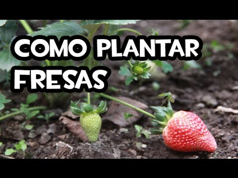 Como plantar fresas huerto urbano youtube - Huerto de urbano ...