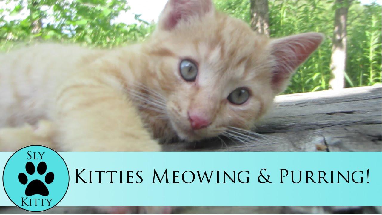 Kitties Meowing & Purring