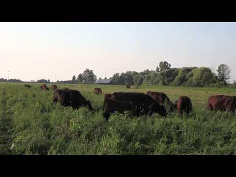 Rotational Grazing of Organic Black Angus Cattle