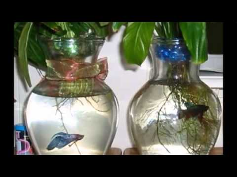 5 best aquarium plants for betta fish youtube for What kind of fish can live with a betta
