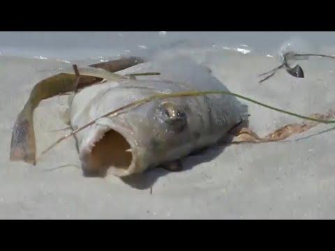 Red tide algae bloom killing marine life off Florida coast