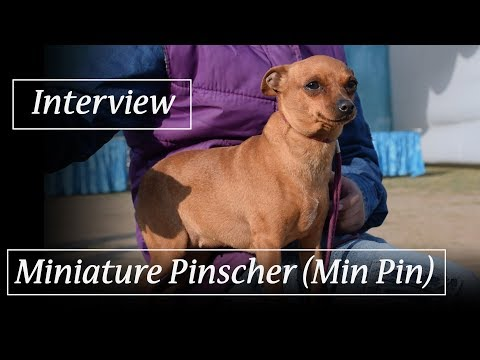 Miniature Pinscher (Min Pin) Owner Interview