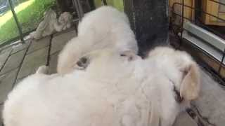 5 Week Cuties: Brightly Star Golden Retriever Puppies