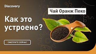 Чай Оранж Пеко | Как это устроено | Discovery
