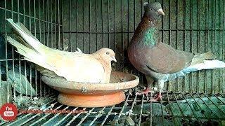 Coloring pigeons breeds -Red & Yellow musaldom  pigeons . bd rahman pigeons loft.