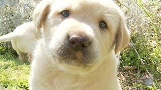 Yellow Lab Puppy Make Out Session - POV Puppy Loving