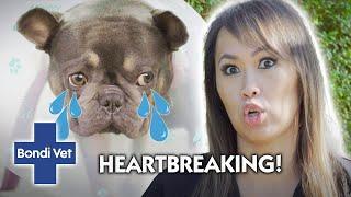 French Bulldog's DEADLY Uterus Infection | Full Episode | Bondi Vet