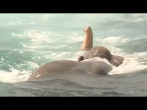 Elephant Stuck in Middle of the Ocean INCREDIBLE RESCUE | The Dodo