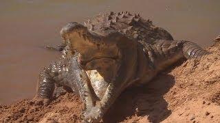Orinoco Crocodile Protects Her Nest - Deadly 60 - Series 3 - BBC