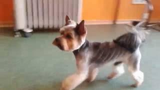 Видео йорк Денни после стрижки с орнаментом Елочка.
