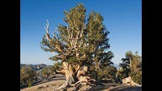 5 najstarszych drzew świata