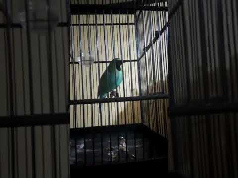 Burung cucak ijo master isian tengkek + suara gemericik air. Cocok untuk masteran!!!