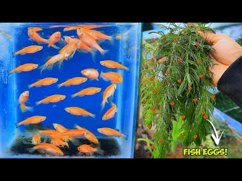 How To Breed ZEBRA DANIO ( Natural Method)