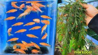 How to breed ZEḂRA DANIO ( Natural Method)