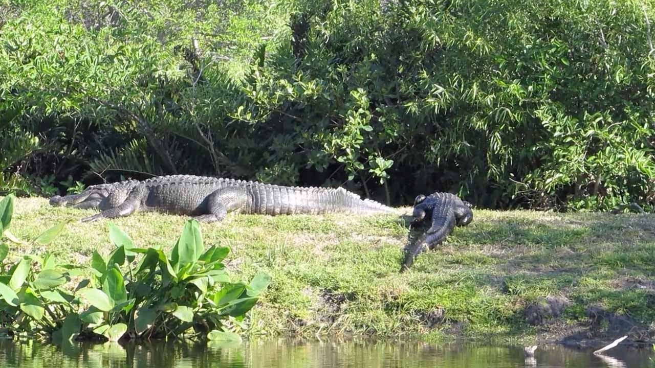 15ft Giant Alligator Spotted In Florida Youtube