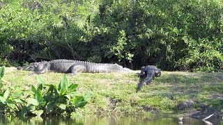 15ft Giant Alligator Spotted In Florida