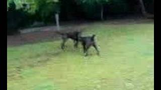 Dog Run Of With Lead Funny Dog Walker In Nottingham