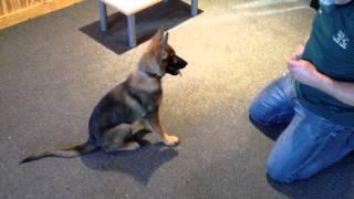 "Obedience Demo ""elsie"" Sable German Shepherd For Sale Puppy Prufenpuden"