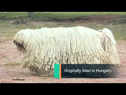 Dog Breeds - Komondor Dogs A Canine Mop