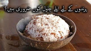 boil rice for best breading result. benefits of boil rice for all birds. hindi/ urdu Video No. 25