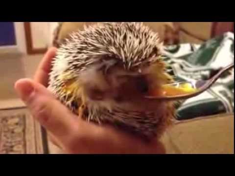 Hedgehog Eating Carrot Baby Food And Anointing