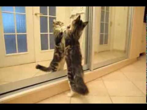 Добро пожаловать!. Добро пожаловать на сайт питомника мейн — кунов «goldkingdom»!. На страницах сайта нашего питомника мейн кунов вы можете ознакомиться с фотографиями наших котов и кошек производителей, фотографиями котят мейн кунов. Договор передачи животного без права.