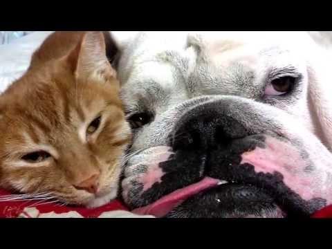 english bulldog & kitty best friends